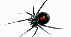 Black widow toxin arsenal uncovered by multi-tissue transcriptomics and venom proteomics