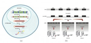 KisSplice –  de novo Assembly of Alternative Splicing Events from RNA-seq Data