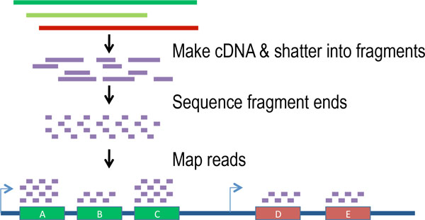 MaLTA – a method for simultaneous transcriptome assembly and quantification from Ion Torrent RNA-Seq data