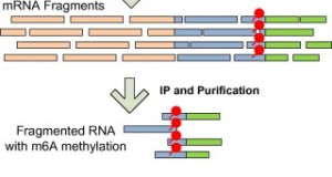 A protocol for RNA methylation differential analysis with MeRIP-Seq data