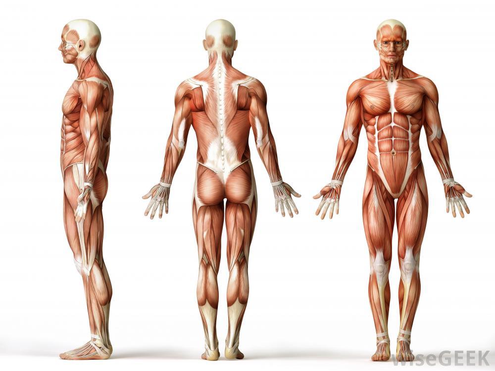 the human skeletal muscle transcriptome | rna-seq blog, Muscles