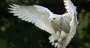 SnowyOwl: accurate prediction of fungal genes by using RNA-Seq