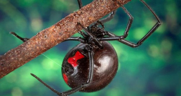The evolution of black widow venom