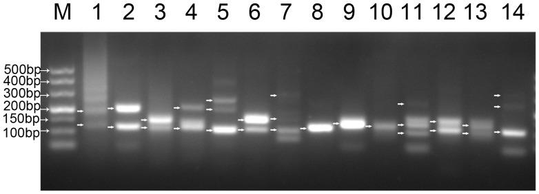 Comprehensive Analysis of Alternative Splicing by Strand-Specific RNA-Seq