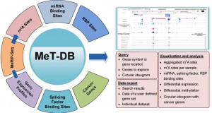 MeT-DB: a database of transcriptome methylation in mammalian cells
