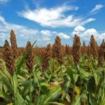 The Sorghum Transcriptome Database