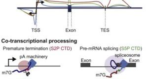 mNET-Seq – snapshots of transcription