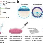 Seurat – Spatial reconstruction of single-cell gene expression data