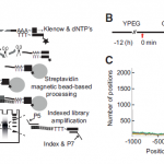 PAT-seq – genome wide 3′-UTR dynamics