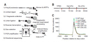 PAT-seq – genome wide 3′-UTR dynamics