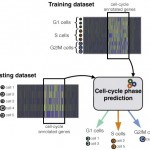 Computational assignment of cell-cycle stage from single-cell transcriptome data