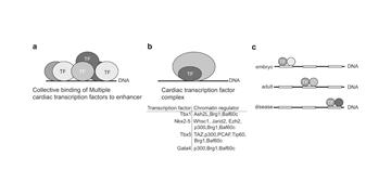 RNA-Seq reveals the mechanisms of transcription regulation during heart development