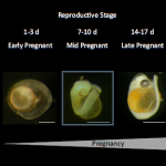 Male Seahorses – the first RNA sequencing study across the full course of pregnancy in any animal