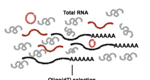 Non-polyadenylated RNA-seq across species
