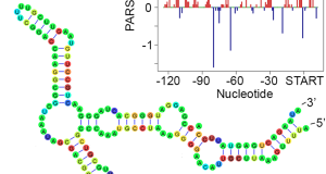 Researchers use parallel analysis of mRNA structure (PARS), ribosome profiling and RNA sequencing (RNA-seq) to reveal that bacterial mRNA structure functions beyond information transfer