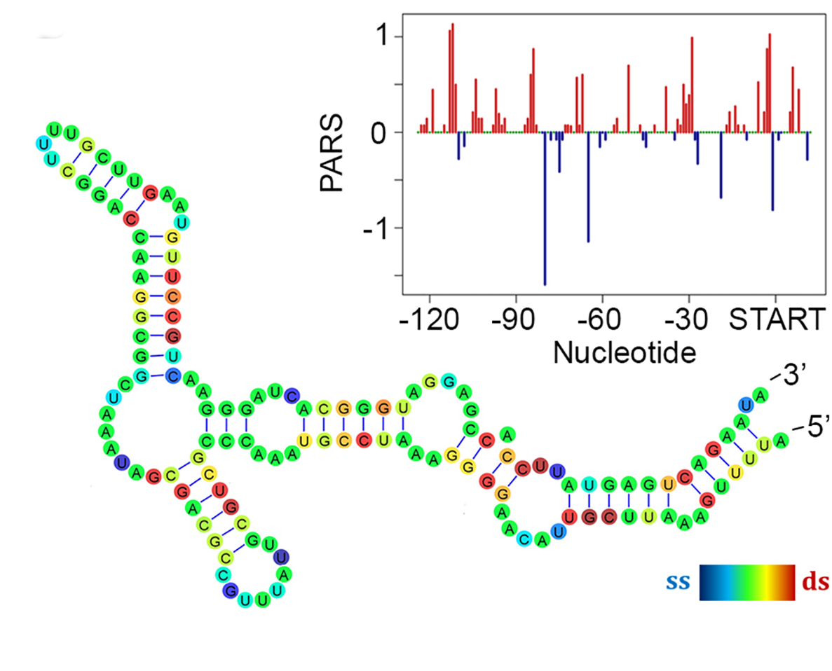 Researchers use parallel analysis of mRNA structure (PARS ...
