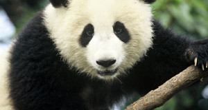RNA-Seq Improves the Giant Panda Genome