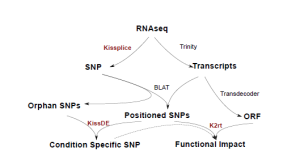 Identify, quantify and annotate SNPs without any reference genome, using RNA-seq data only