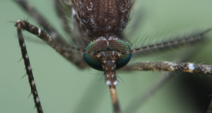 RNA-Seq reveals why mosquitoes don't suffer from the infections they pass on