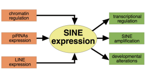 Measuring the Expression of SINE Retroelements with RNA-Seq