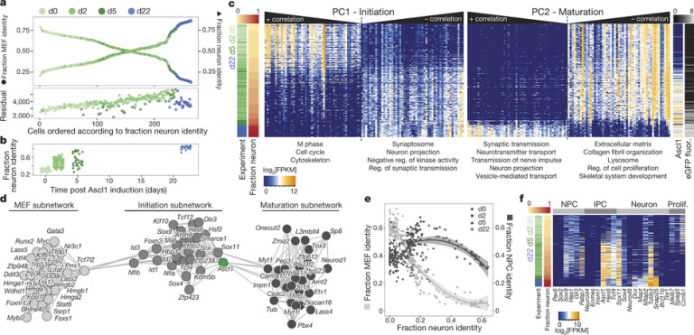 Stanford researchers use single-cell RNA-seq to dissect direct reprogramming from fibroblast to neuron