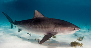Researchers use RNA-Seq to understand the phylogeny of reproductive strategy in tiger sharks