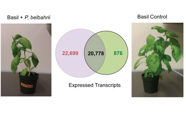 A pipeline for rapid gene discovery and expression analysis of a plant host and its obligate parasite