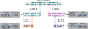RACE-Seq – extension of human lncRNA transcripts by RACE coupled with long-read high-throughput sequencing