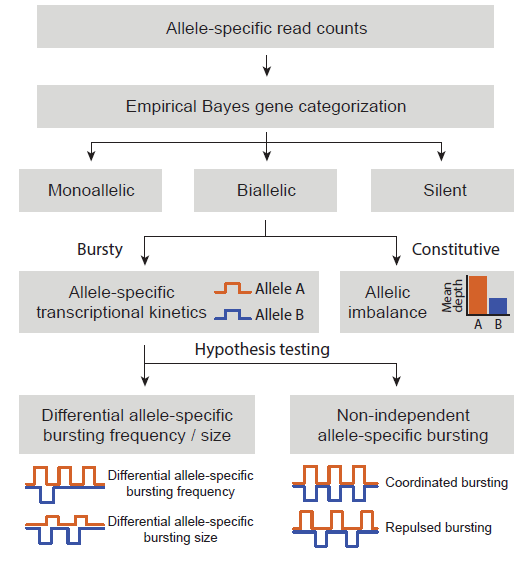 Single Cell Rna Sequencing Scrna Seq Of Cells: Modeling Allele-specific Gene Expression By Single