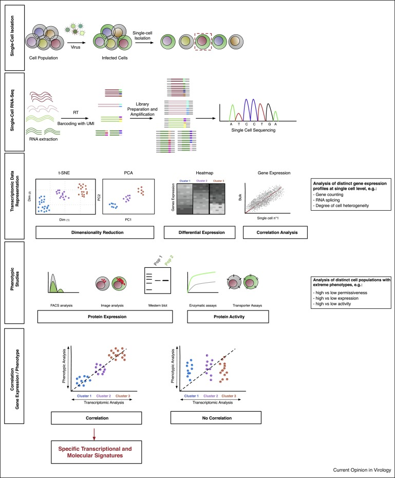 Transcriptome analysis single cell rna seq workflow rna seq blog the whole analysis pipeline can be divided in five steps i cells infected at population level are separated and isolated as single cells ccuart Gallery