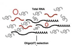 Non-polyadenylated RNA-seq across species
