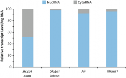Nuclear RNA Isolation and Sequencing