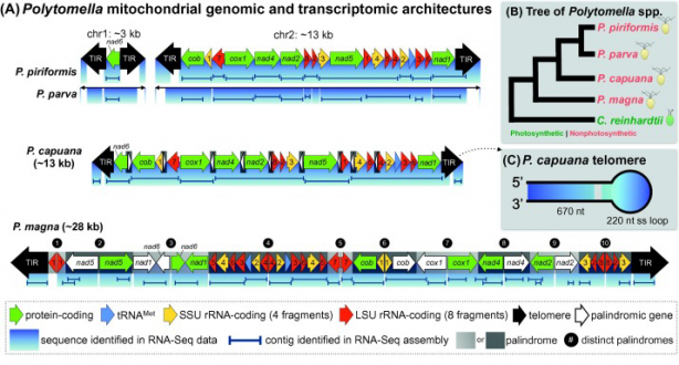 Sequencing Mitochondrial Transcriptomes with RNA-Seq