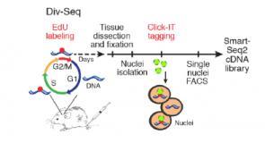 Div-Seq – A single nucleus RNA-Seq method reveals dynamics of rare adult newborn neurons in the CNS
