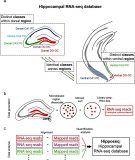 Hipposeq – a comprehensive RNA-seq database of gene expression in hippocampal principal neurons