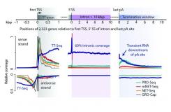 TT-seq maps the human transient transcriptome