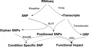 SNP calling from RNA-seq data without a reference genome