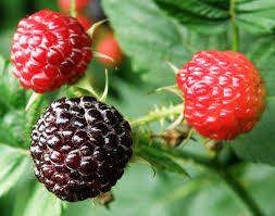 Rubus RNA-Seq reference transcriptome available at the Genome Database Rosaceae (GDR)