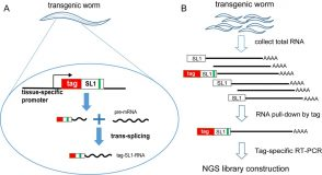 Splicing-based RNA tagging (SRT) – a new method for tissue-specific RNA-seq of transgenic worms