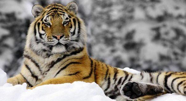 The transcriptome of the Siberian tiger (<i>Panthera tigris altaica</i>)