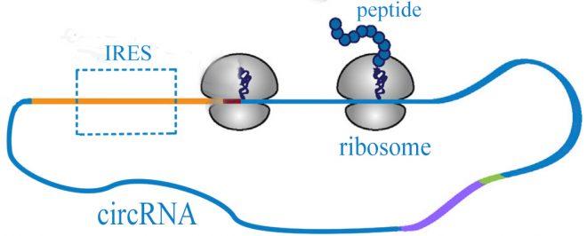 circRNADb – A comprehensive database for human circular RNAs with protein-coding annotations