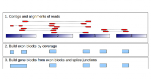 Rascaf – Improving Genome Assembly with RNA Sequencing Data