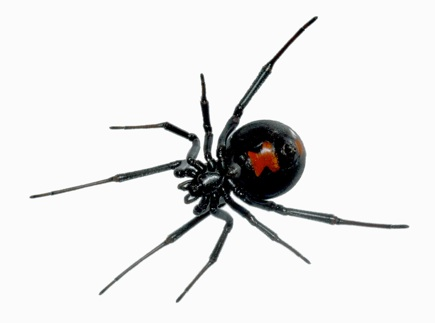 Black Widow Toxin Arsenal Uncovered By Multi Tissue Transcriptomics And Venom Proteomics