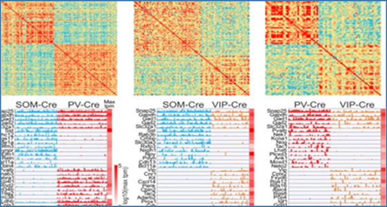 Researchers combine in vivo labeling, patch clamp, and
