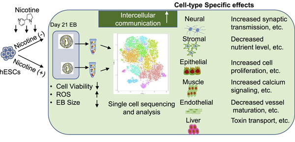 RNA-Seq shows that nicotine may harm human embryos at the
